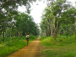 Walking among the rubber trees | by Erik Cleves Kristensen
