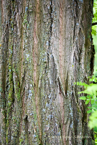 tree vermont unitedstates barton invasive robiniapseudoacacia blacklocust