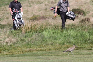 Curlew on the fairway and golfers in the rough | by Paul Marfell