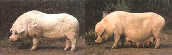 Thu, 01/19/2006 - 11:01 - Rongchang pig breed