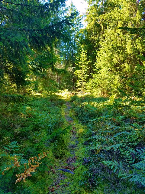 Incredible spruce/moss forests along the Bellefonte Posse Trail