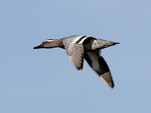 Garganey; Anas querquedula | by phenolog