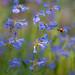 Native bee pollinating blue mist penstemon.