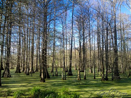 trees swamp algae lakemartin