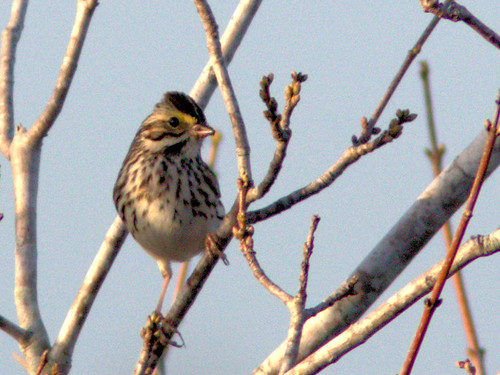 Savannah Sparrow 03-20170101