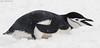 Chinstrap Penguin Pygoscelis antarctica DSC_0103 by Mary Bomford