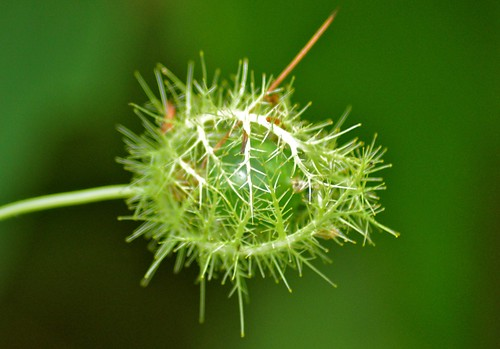 wildflowers johor muar westmalaysia