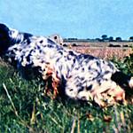 CRISMANI DIK - Questo setter proviene dalle prime importazioni e da West Down Turwy. Vincitore di Coppa Europa 1970, più volte selezionato per la medesima Coppa. Vincitore di numerose prove internazionali con il CACIT.
