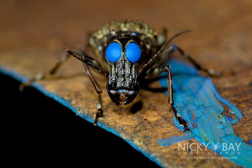 Fungus Weevil (Acorynus sp.) - DSC_4132 | by nickybay