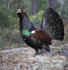 Western Capercaillie by Wild Chroma
