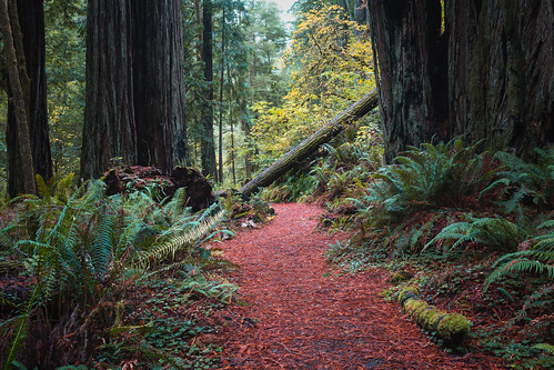 trees forest nature redwoods jedediahsmithredwoods path trail california sigma35mmf14dghsmart canoneos5dmarkiii crescentcity unitedstates us