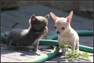 fat puppies   by cuatrok77