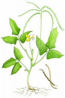 diagram of cowpea for crop illustration   by iita image library
