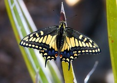 desert black swallowtail butterfly butterfly photography by Ron Birrell; 2161 1000