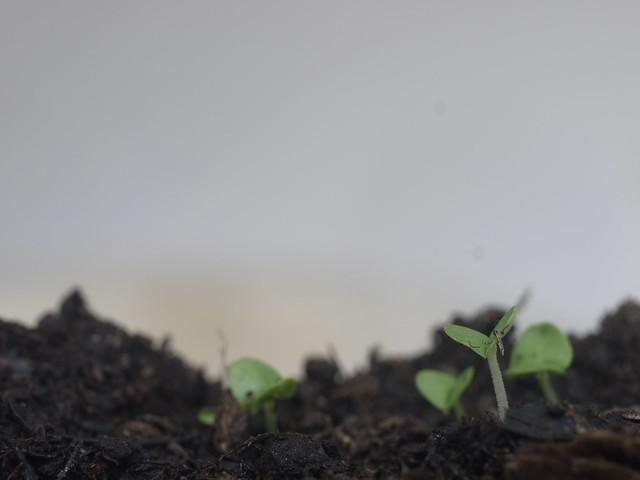 Seedling Germ Bud Keimling Sprössling Grow Wachstum Spring