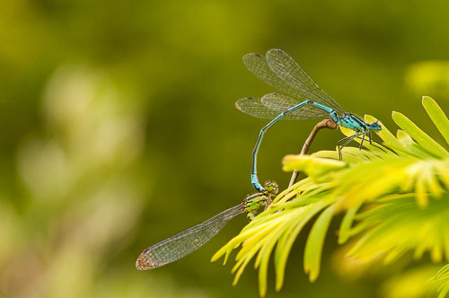 Damselflies mating | by Steve Bird1