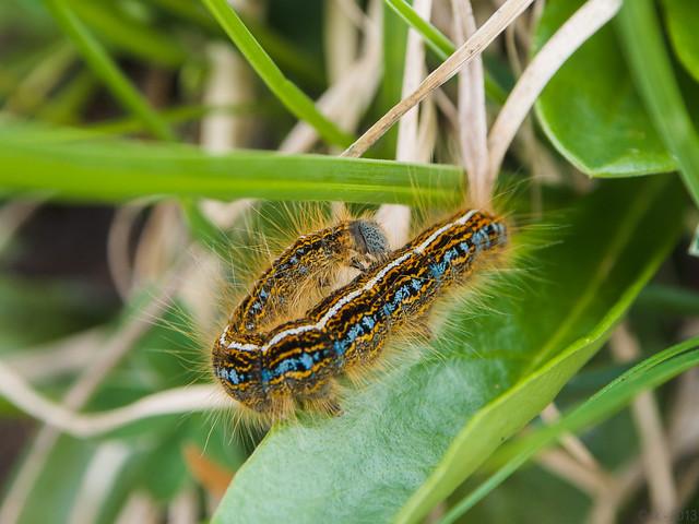 Caterpillar / Raupe