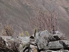 日, 2013-08-18 11:56 - Pinkuylluna登山道のサボテン