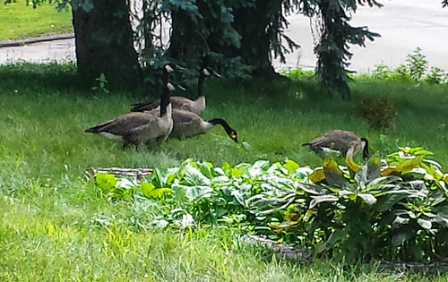 Yard Geese | by EverydayUrbanGardener