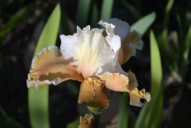 Iris 'English Charm' - Barry Blyth 1989 13954952498_dd147409a3_z
