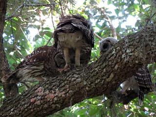 Barred Owl (Strix varia) | by magnificentfrigatebird
