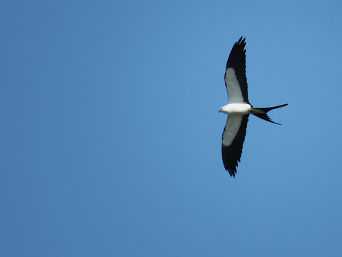 Swallow-tailed Kite (Elanoides forficatus) | by magnificentfrigatebird