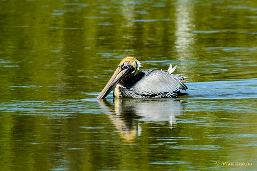 Brown Pelican (Pelecanus o. occidentalis), adult in breeding plumage | by Allan Hopkins