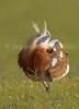 Abetarda (Otis Tarda) Great bustard (male) by jaygum_photo