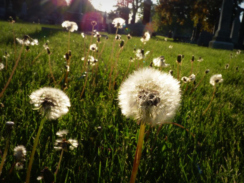 Dandelions at dawn