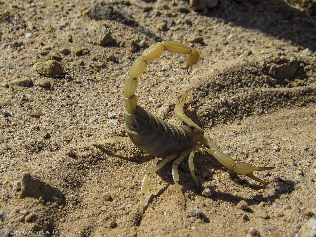 Scorpion in defensive position  Zzyzx Insects and Other Ar