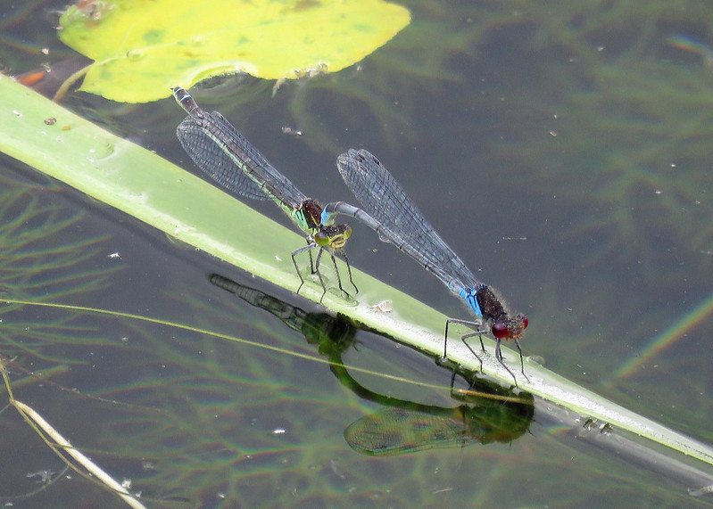 Red-eyed Damselfly - Erythromma najas