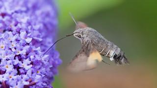 Kolibrievlinder | by kiekjesdief.nl/vlinders
