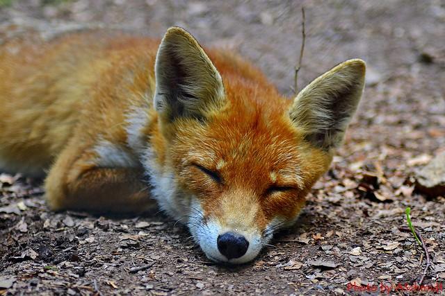 Rotfuchs - Vulpes vulpes Fox sleeping