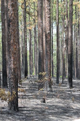 fire prescribedburn controlledburn longleafpine pinuspalustris weymouthwoods