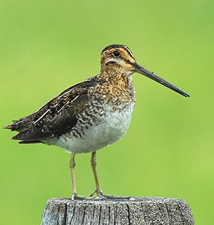Wilson's Snipe | by birding4ever