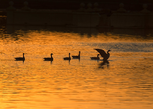 goose geese birds silhouettes sunset gold water pond lake citypark denver colorado evening