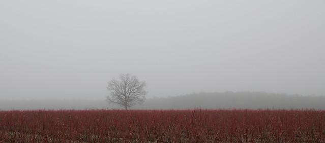 In The Fog (Blueberry Field)