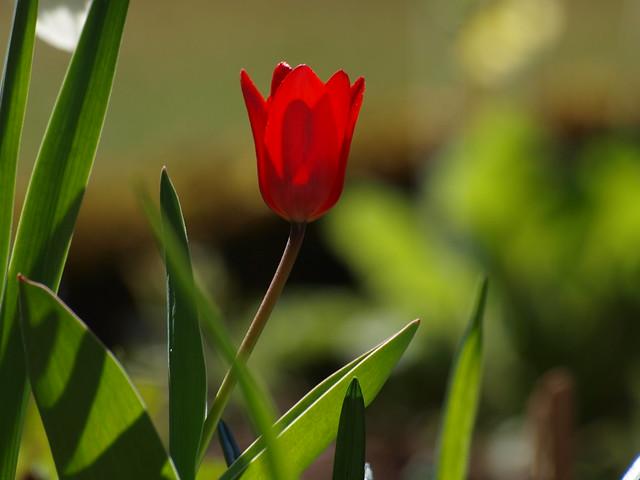 sonnenverwöhnte Tulpe