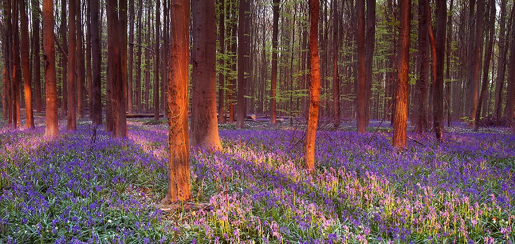 Bluebell forest, Halle, Belgium