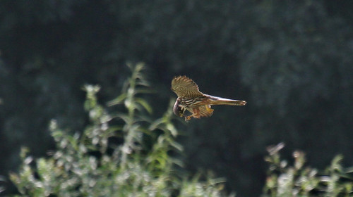 Hobby (Falco subbuteo) eating on the wing