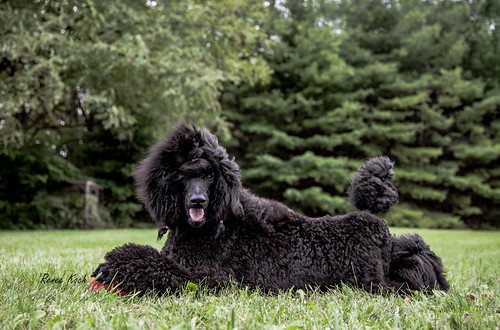 ava standardpoodle 52weeksfordogs