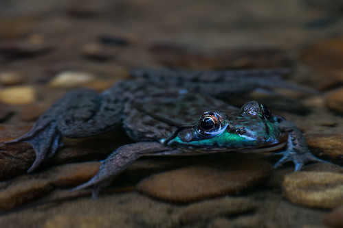 Frog in Creek   by AER Wilmington DE