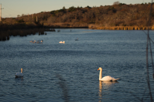 sunrise capecod swans oysterpond