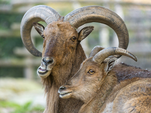 Two mouflons in love | by Tambako the Jaguar