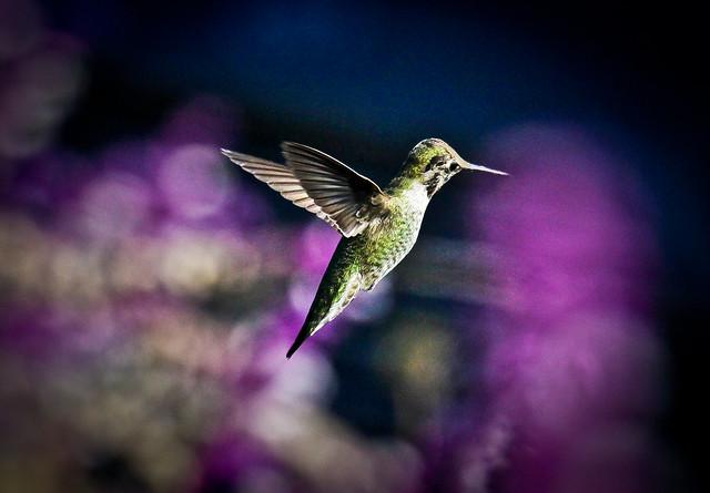 Magical Hummingbirds