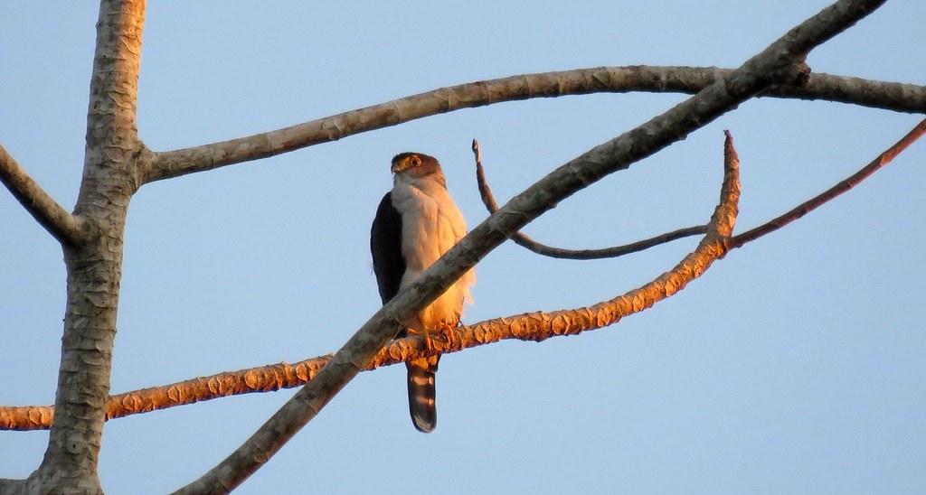Gray-bellied Hawk / Gavilán de Vientre Gris (Accipiter poliogaster) en la estación Biológica Los Amigos