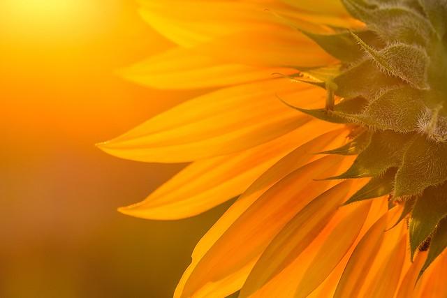 Sonne/n/Blume