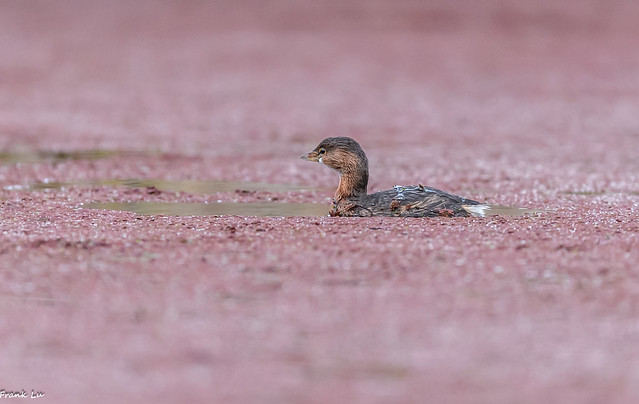 Pied-billed Grebe-At a small pond full of Red Duckweed.