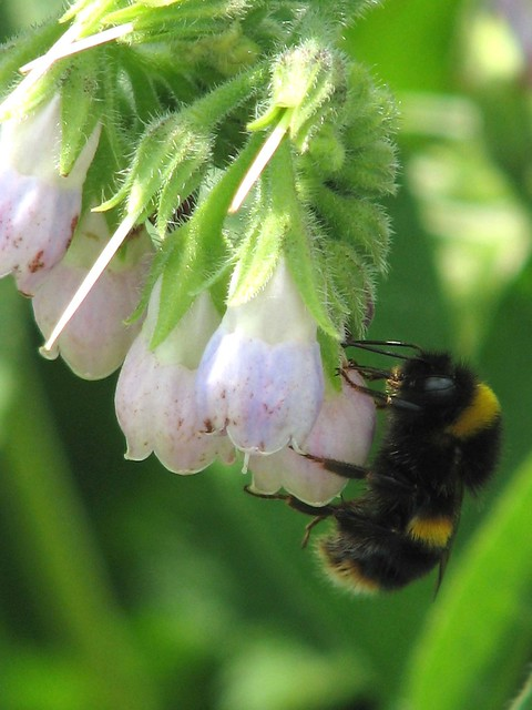 Along the Stort Canal (40) - Bumble Bee and Comfrey