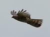 African Cuckoo Hawk by Seth of Rabi